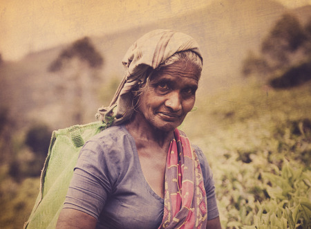 indian subcontinent ethnicity: Tea Picker Picks Leaves As She Looks At The Camera Concept