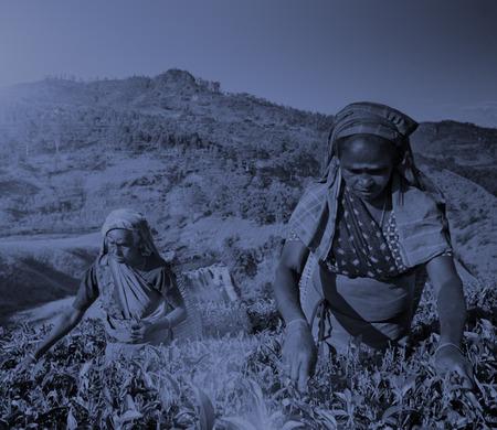 sri lankan: Sri Lankan Women Picking Tea Leaves Harvesting Concept