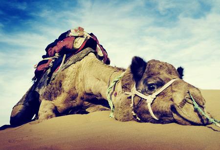 Animal chameau du désert de repos tranquille Solitude Concept