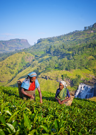 sri lankan: Sri Lankan Women Picking Tea Leaves Concept