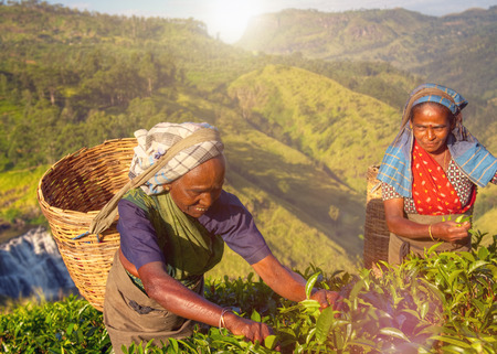 Women Tea Pickers Sri Lanka Harvesting Agricultural Concept