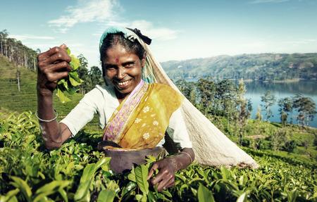 phenomenon: Indigenous Sri Lankan Tea Picker Harvesting Concept