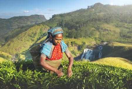 subcontinent: Indigenious Sri Lankan Tea Picker Agricultural Farm Concept