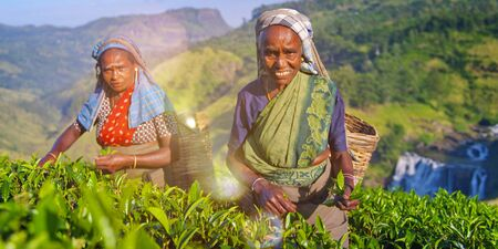 indian subcontinent ethnicity: Two Tea Pickers Smile As They Pick Leaves Concept Stock Photo