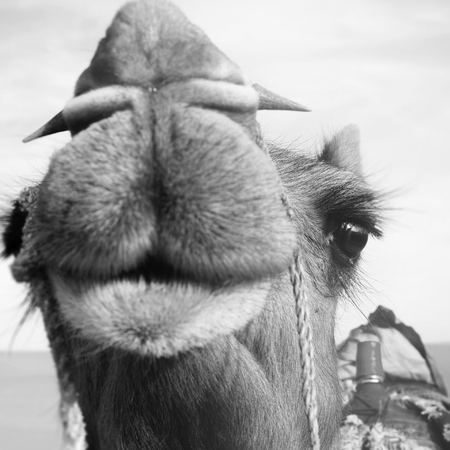 carved letters: Happy Camel Smiling in the Desert Concept Stock Photo