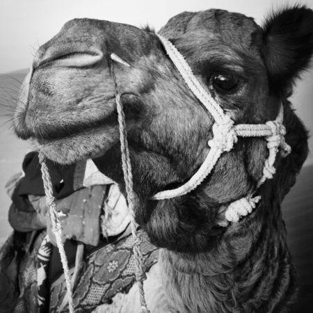 thar: Camel in the Thar Desert Transpotation Heat Concept Stock Photo
