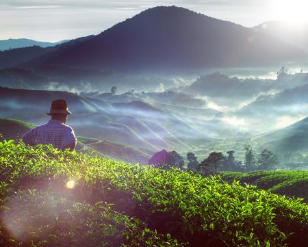 tea plant: Farmer Tea Plantation Malaysia Culture Occupation Concept Stock Photo