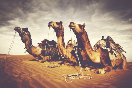 carved letters: Camels Reating Desert Indian Culture Concept Stock Photo