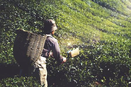 tea crop: Agriculture Agriculturist Harvest Tea Crop Concept