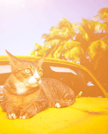 exoticism: Cat Relaxing on Car Animal Exoticism Concept