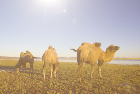 independent mongolia: Three Camels Eating Grass In A Scenic Nature Concept