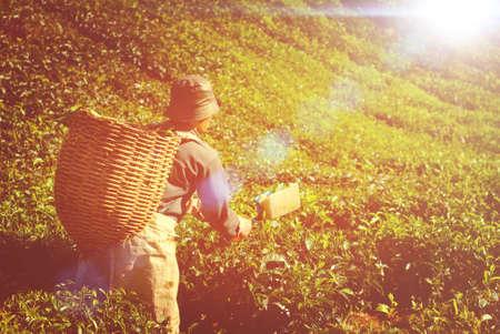 manual job: Manual Worker Picking Tea Plantation Harvesting Industry Job
