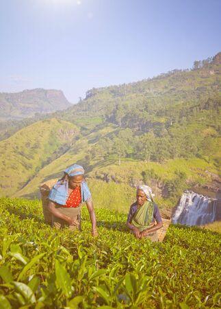 sri lankan: Sri Lankan women picking tea leaves.