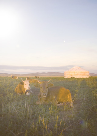 domesticated: Herd Of Domesticated Cows Lying Down Beautiful Scenic Concept Stock Photo