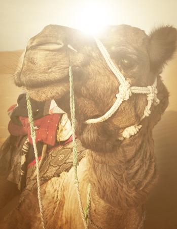 thar: Camel in the Thar Desert Concept