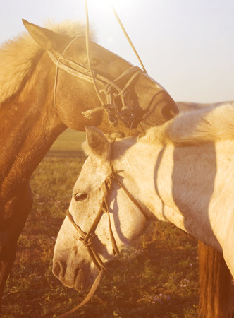independent mongolia: Two Horses Touching And Bonding With Each Other Concept