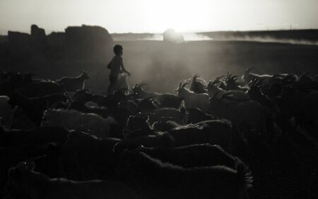 independent mongolia: Little Boy Herding Goats at Dusk Culture Concept Stock Photo