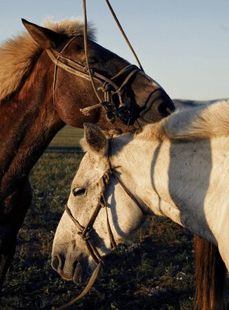 independent mongolia: Two Horses Touching And Bonding Concept