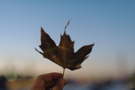 Person holding up a maple leaf