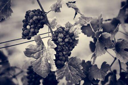 Grape Valley Wine Vineyard Branches