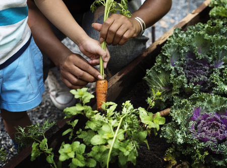 Het plukken van een babywortel in een tuin