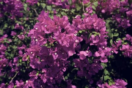 Pink Purple Bougainvillea Real Flower