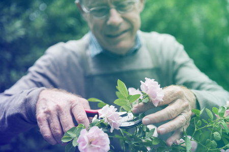 Senior adult trimming the rose in the garden Stock Photo
