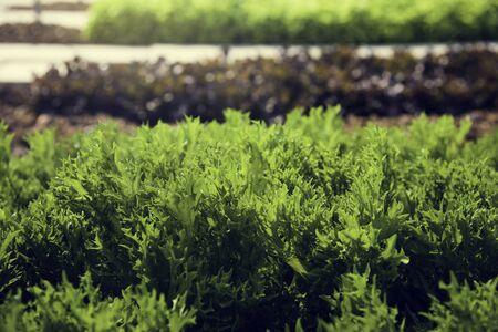 ファームの新鮮な野菜の収穫 写真素材