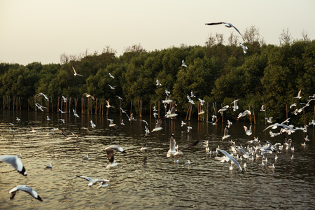 Flying Seagulls near Mangrove Forest Natural