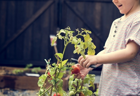 Kid is taking a fresh tomato from a garden