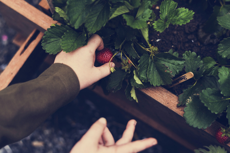 Hands picking organic fresh agricultural strawberry Stock Photo