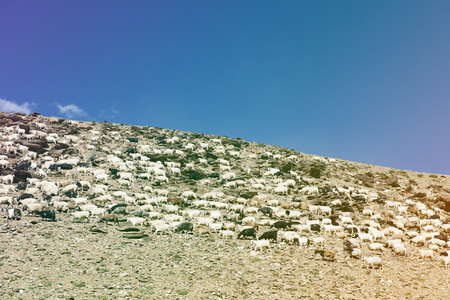 Herd of Sheeps Goats on Hill Stock Photo