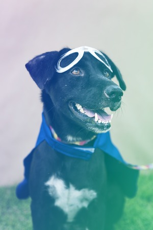 Black Dog Wear Superhero Costume with Mask Stok Fotoğraf