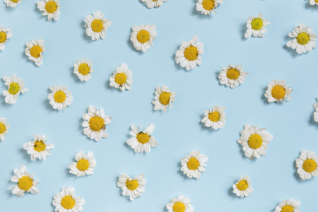 White Daisy Flowers on Blue Background Stok Fotoğraf