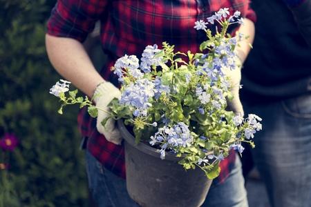 Cape Leadwort Plumbago Blue Flower Фото со стока