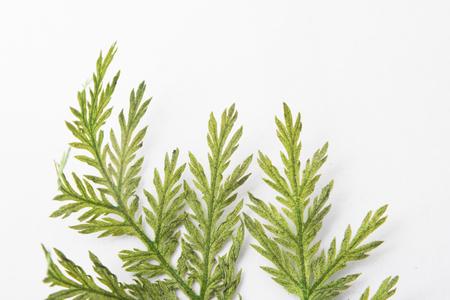 Pressed Green Leaf on White Background Фото со стока - 82198611