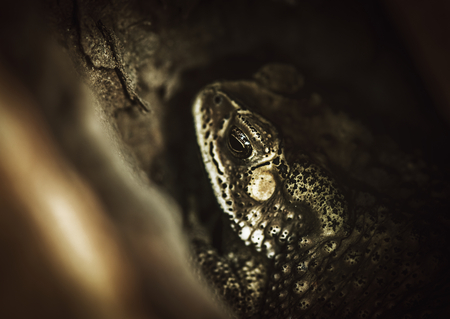Macro shot of real toad hiding in the tree