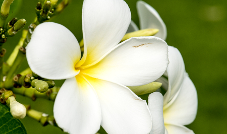 Macro of real nature plumeria flower botanic