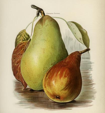 果物栽培者のガイド: 梨のヴィンテージのイラスト 写真素材