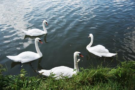 Zwanen in het meer