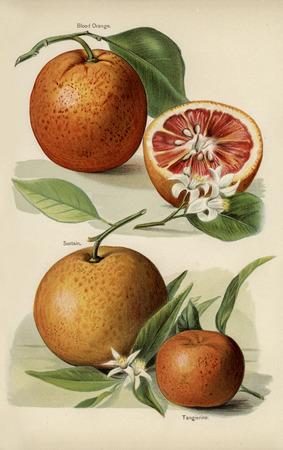 The fruit grower's guide  : Vintage illustration of orange Stock Illustration - 89713125