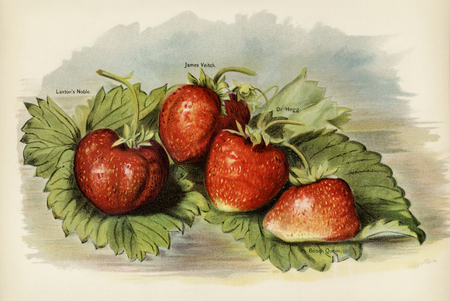 The fruit growers guide  : Vintage illustration of strawberry 版權商用圖片