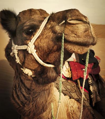 Johnie de kameel in de Thar-woestijn, Rajasthan, India.