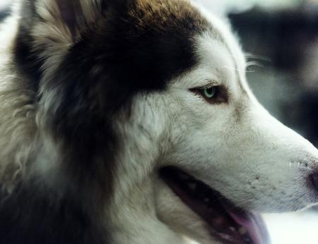 Siberian husky mammal pet