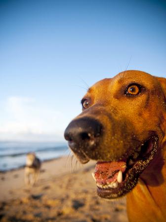 Hond op een strand in Samoa Stockfoto