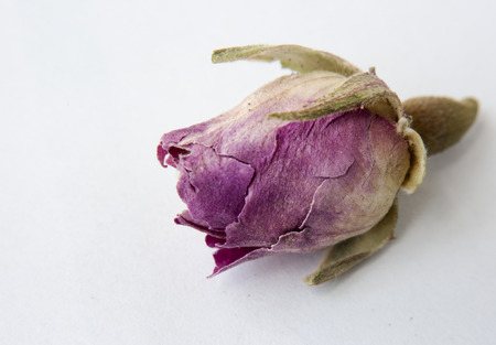 Dried single rose on white background