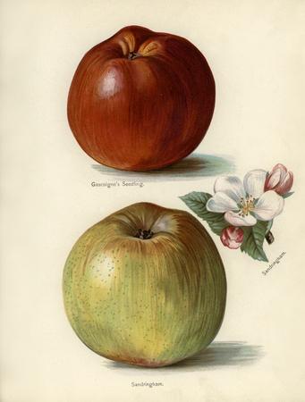 De gids van de vruchtenteler: Vintage illustratie van de zaailing van gascoigne, sandringham-appels Stockfoto