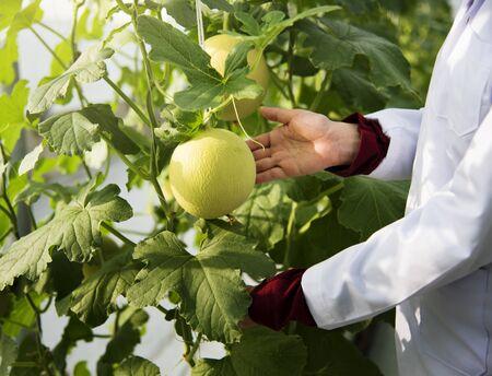 植物の果実を研究する科学者のクローズアップ 写真素材