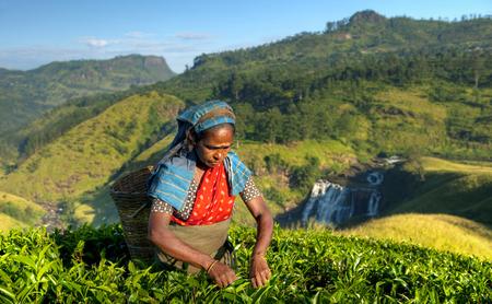 スリランカのプランテーションでのお茶のピッカー 写真素材 - 89602876