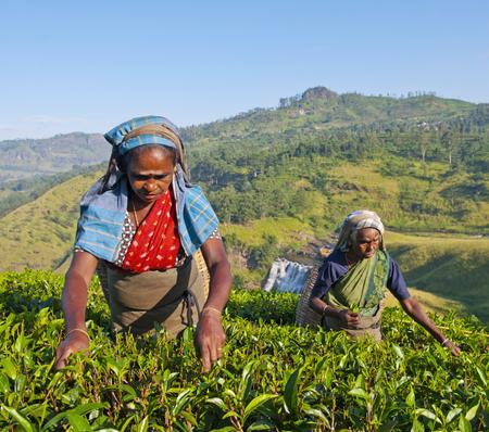 Tea pickers at a plantation in Sri Lanka 스톡 콘텐츠